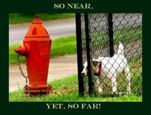 funny-puppy-picture-dog-staring-through-fence-at-a-fire-hydrant