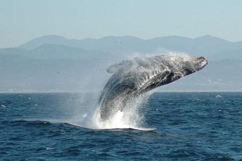 humback_whale_3