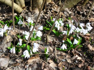 Er... I think you mean wood anemones!