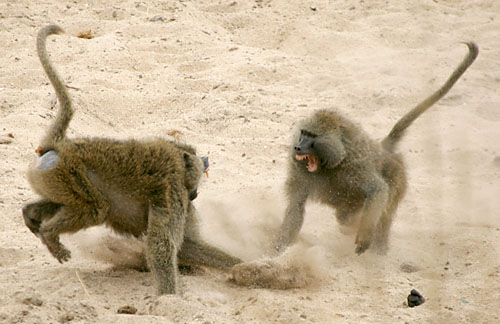 baboonfight1