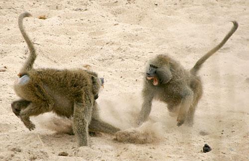 baboonfight1
