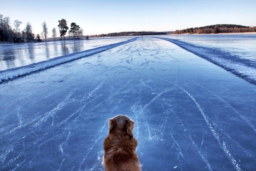 On ice dog copy
