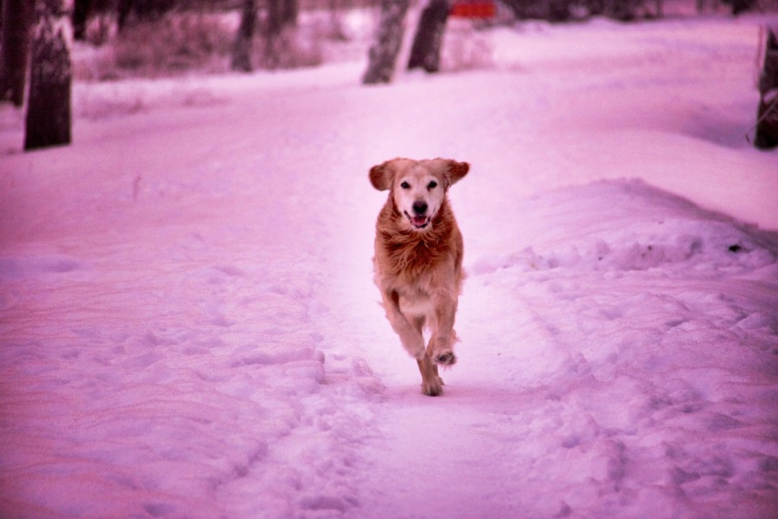 Pink dog_S