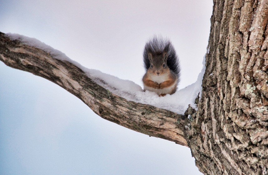 Squirrel copy