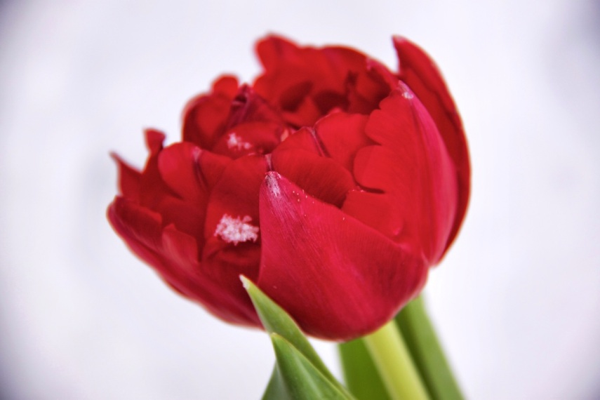 Snowflaked red tulip