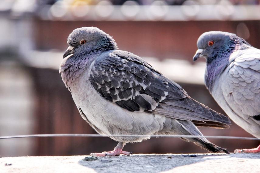 Tame pigeons