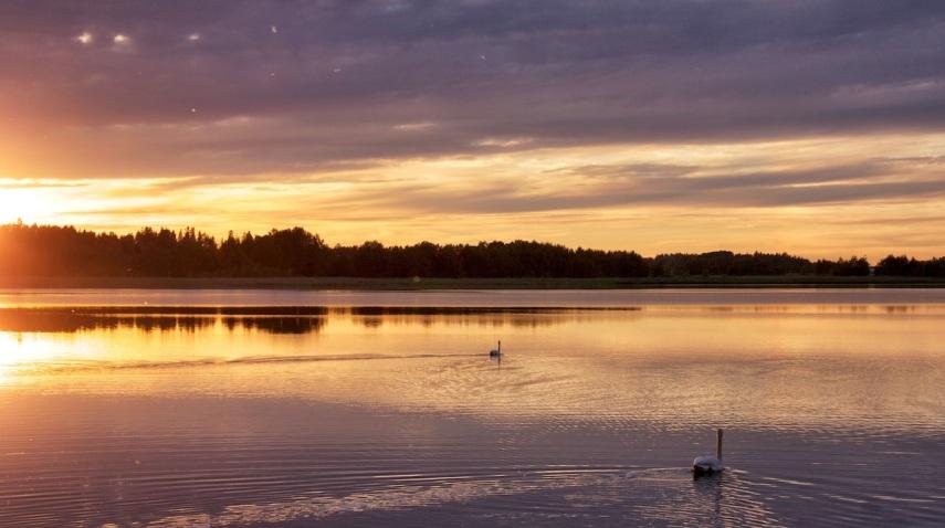 Swan sunset copy