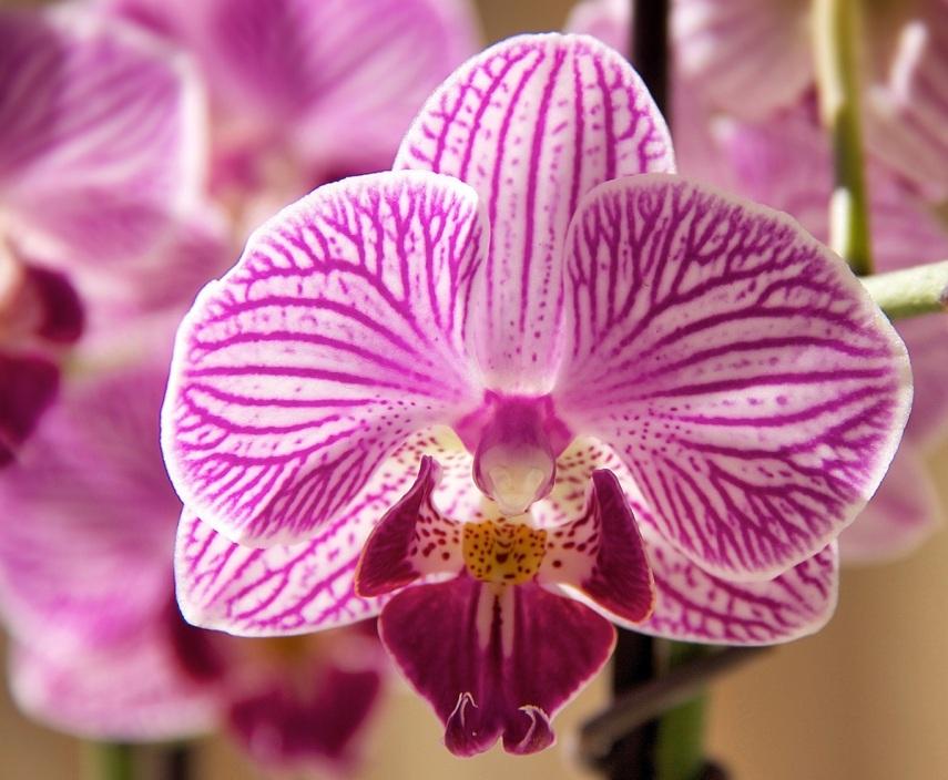 Orchid face copy