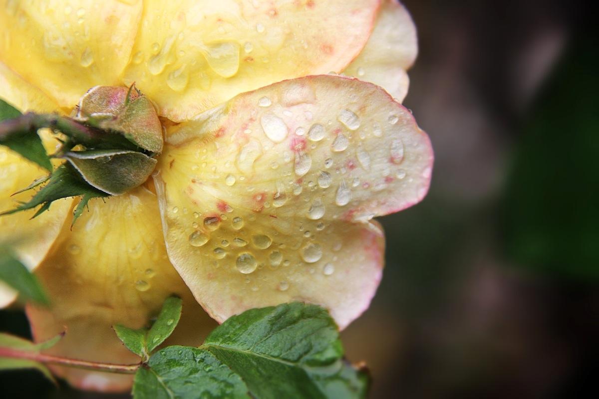 Raindrops On Roses Lady Fi