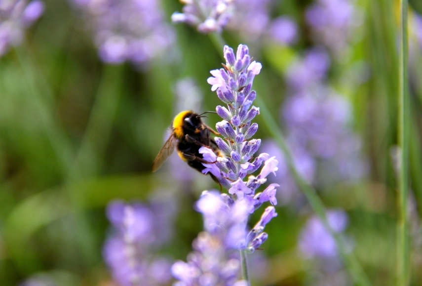 Lavender bee copy