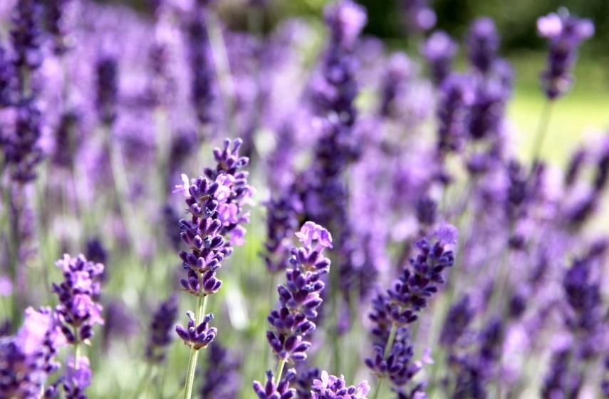 Lavender blur