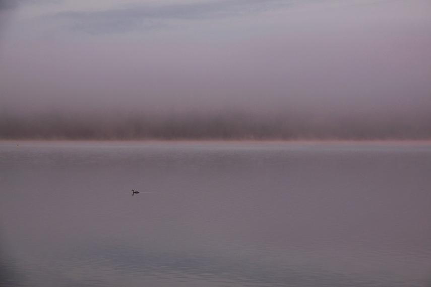 Misty duck