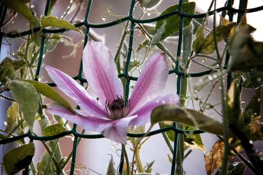 Passion flower copy