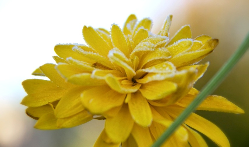 Frosted yellow