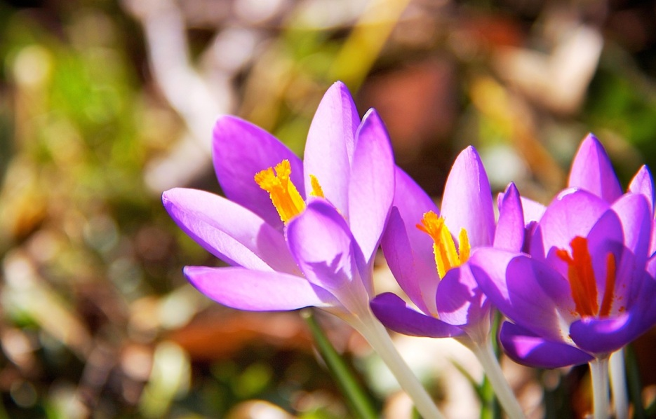 Crocus trio copy