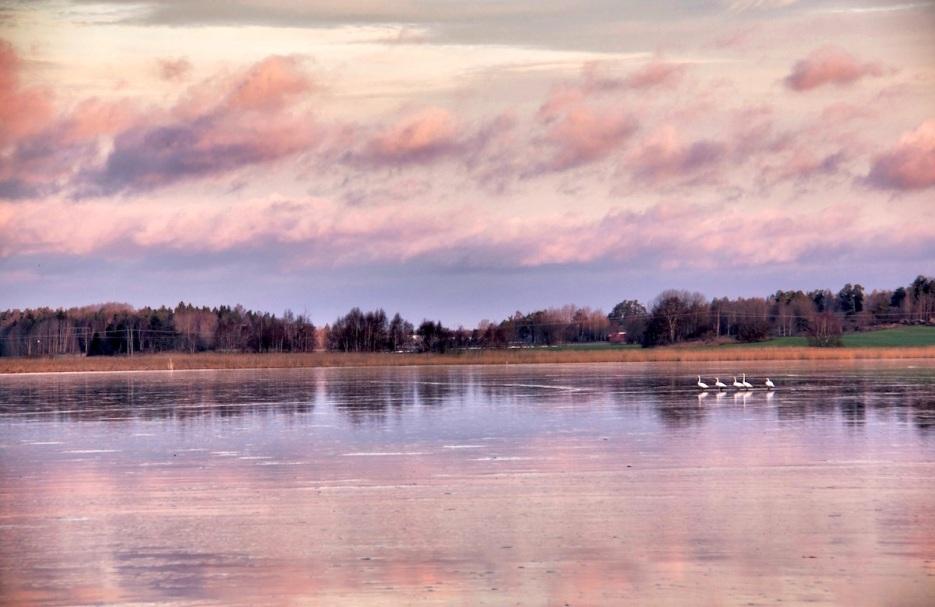 Iced swans