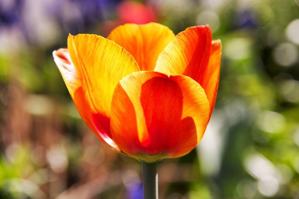 Orange burst tulip copy