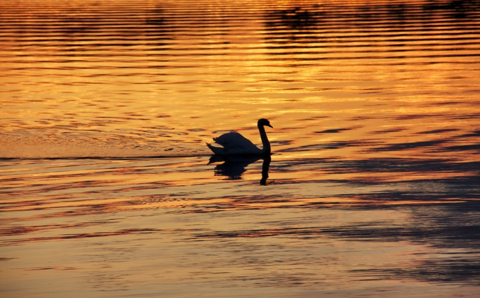 Golden swan lake copy