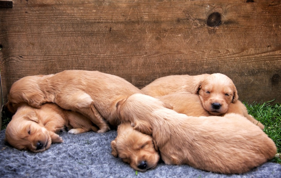Puppies sleeping copy