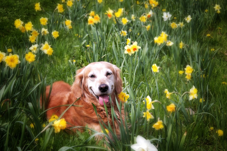 laughing-in-daffs