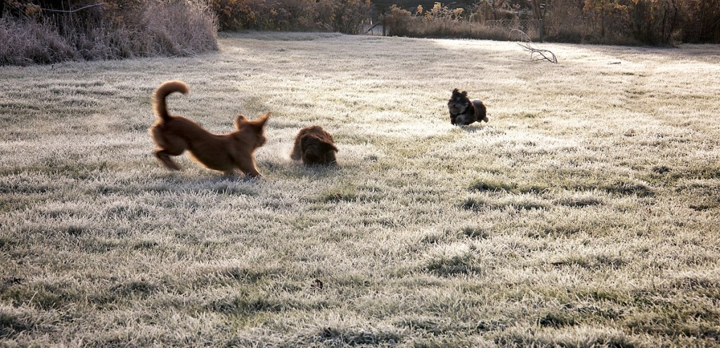 Frosted dogs
