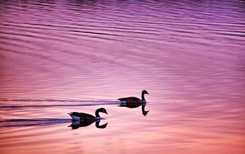 Ducks on velvet