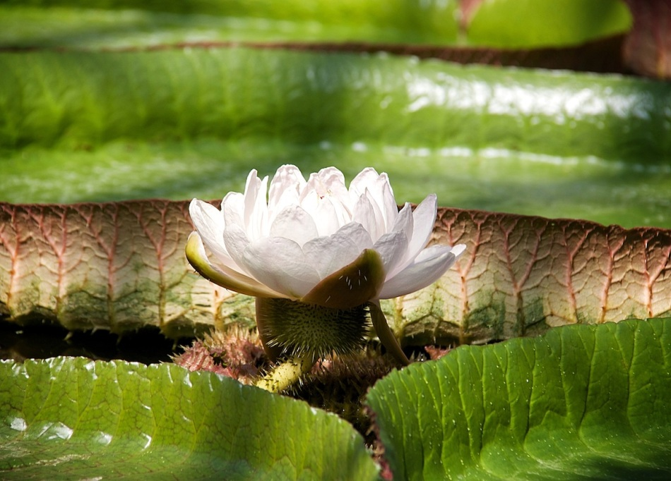 White lily copy