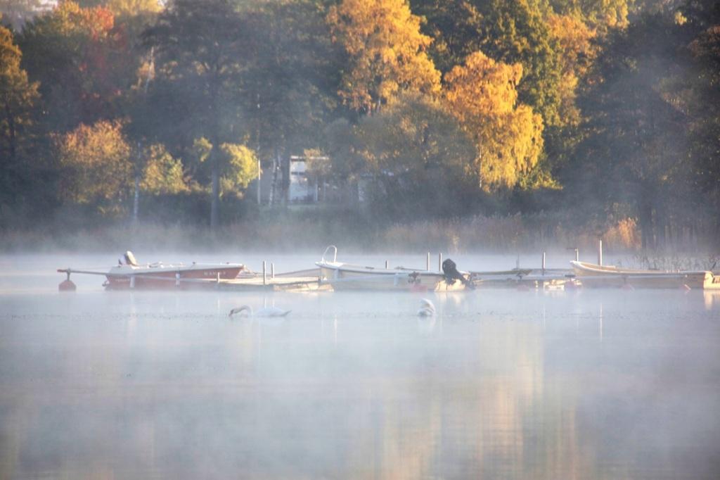Misty swans