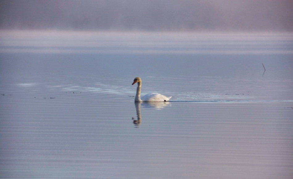 Swan stripes