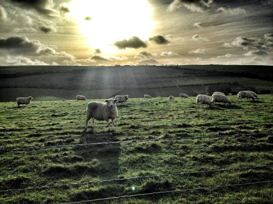 Rays on sheep