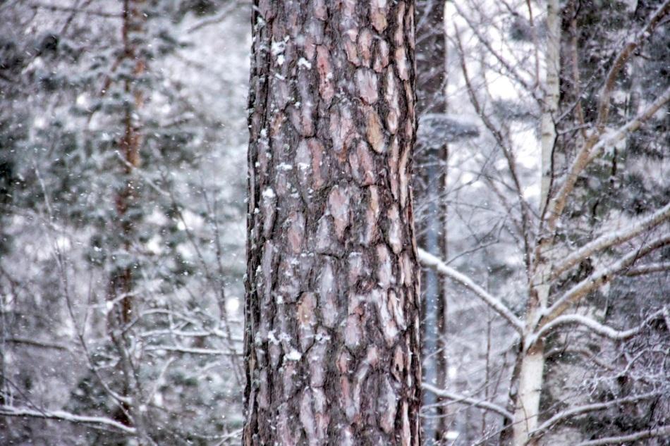 Snowy bark.jpg