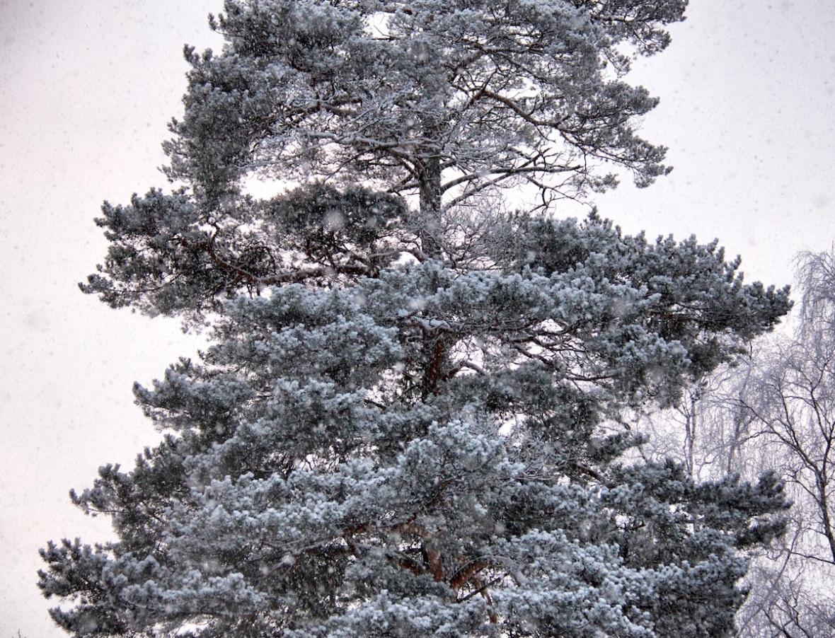 Snowy pine.jpg