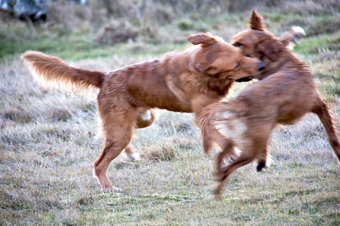 Wet dogs playing.jpg