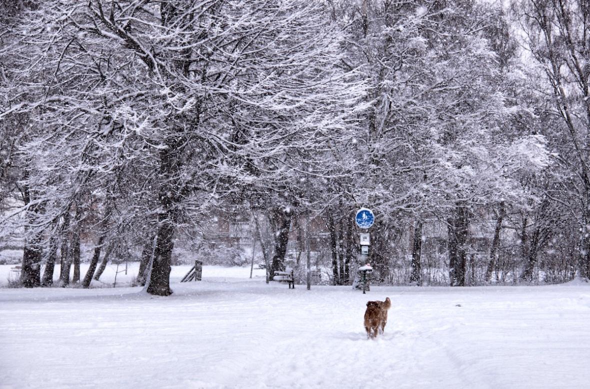 Snowy dogs.jpg