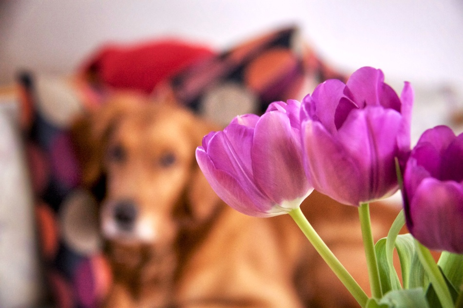Tulips photobomb 2.jpg