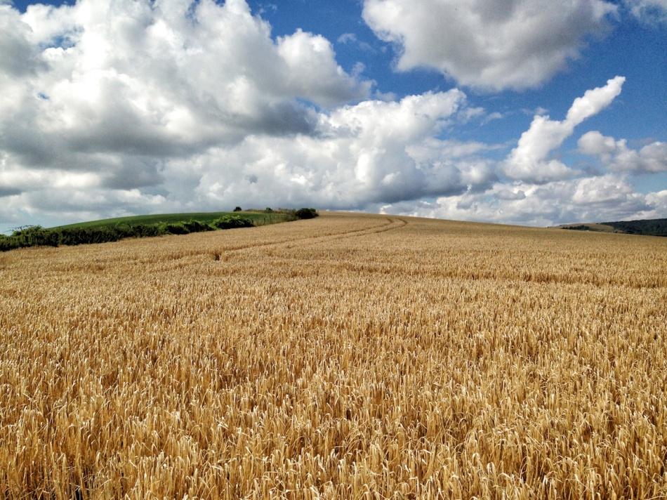 Golden fields.jpg