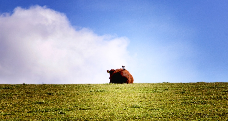 Cow and bird.jpg