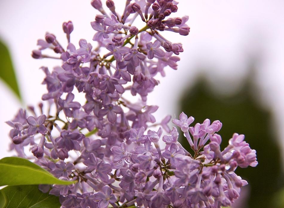 Lilacpurple.jpg