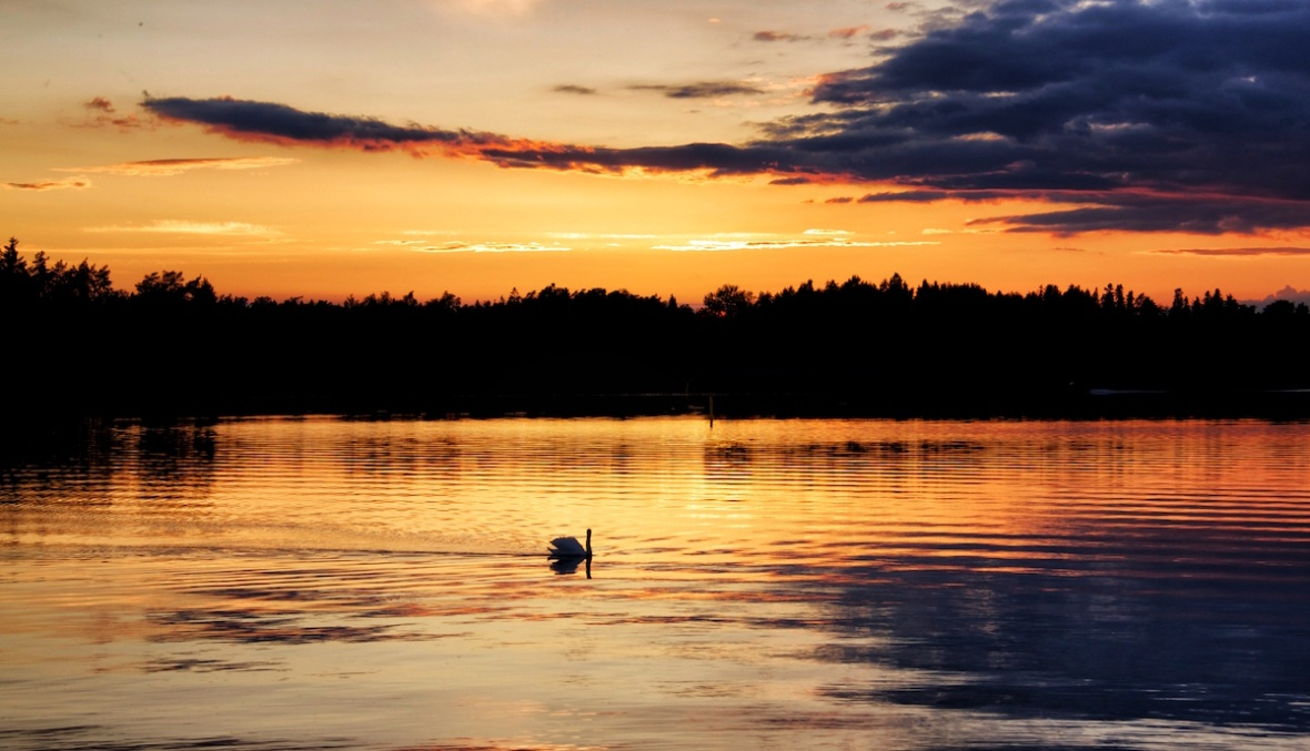 Summer swan.jpg