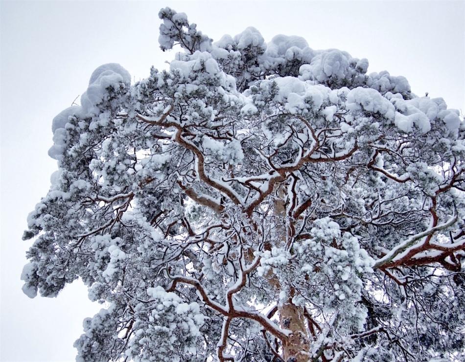 Snowytree.jpg