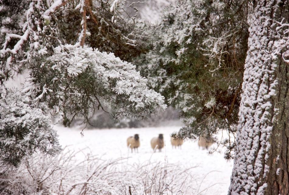 Snowyneedles.jpg