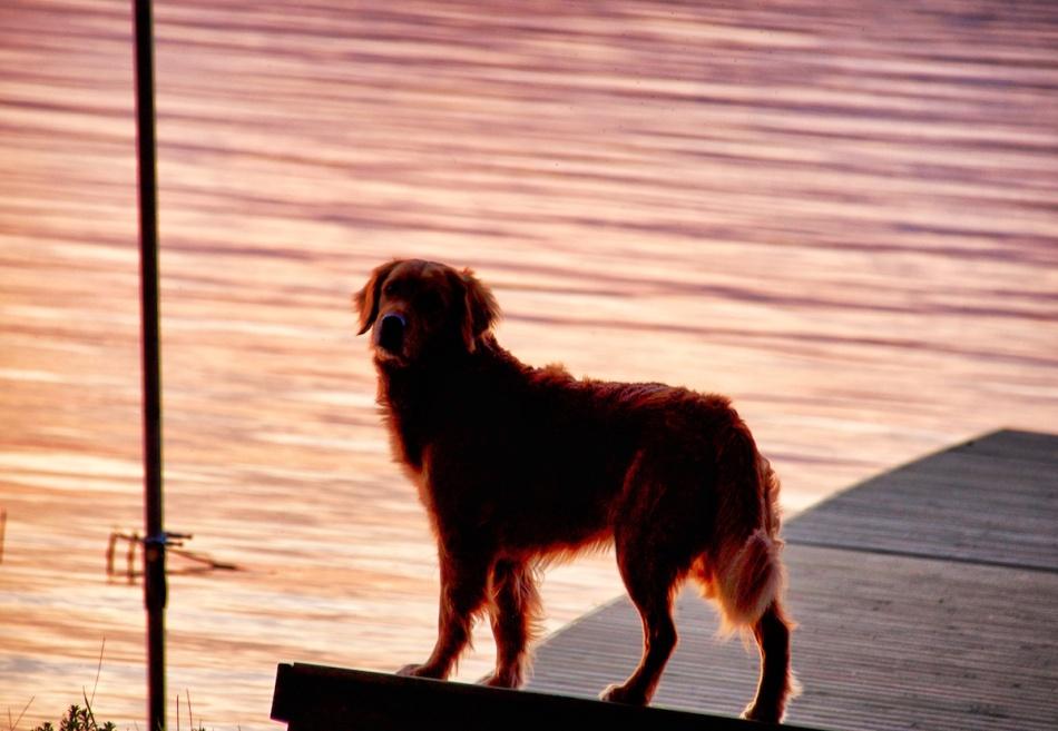 Goldendog.jpg