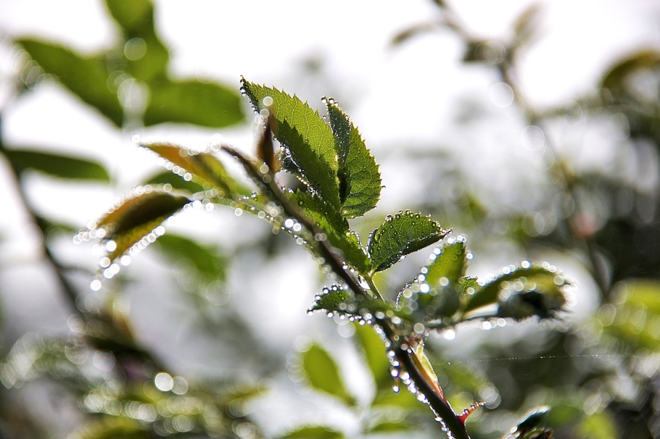 Dewdrops.jpg