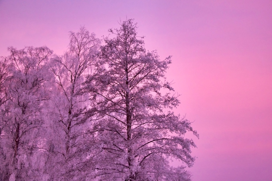 Pinktrees.jpg